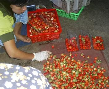 """""""Suasana di salah satu pengumpul strawberry"""" (doc/ikh)"""